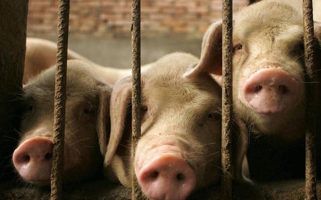 giá bitcoin: Giá thịt lợn tăng gần 70% ở Trung Quốc