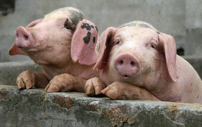 giá bitcoin: Khủng hoảng thịt lợn ở Trung Quốc ngày càng nghiêm trọng