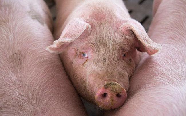 giá bitcoin: Trung Quốc loay hoay ứng phó khủng hoảng thịt lợn